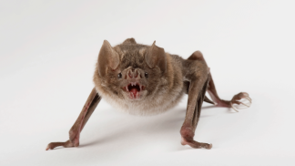 vamp-bat
